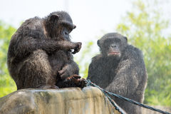 黑猩猩,曼谷,泰国 图库摄影