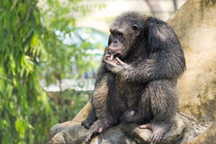 黑猩猩,曼谷,泰国 库存图片