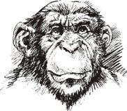 黑猩猩猴子头 免版税图库摄影