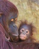 猩猩-母亲和婴孩 免版税图库摄影