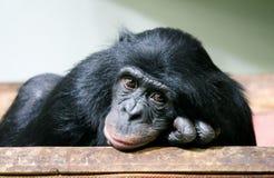 黑猩猩黑猩猩平底锅穴居人头在手上 免版税图库摄影