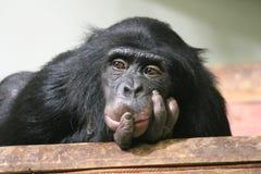 黑猩猩黑猩猩猿猴子面孔头平底锅穴居人胡闹 库存图片