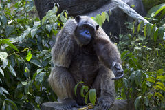 黑猩猩画象在密林 库存图片