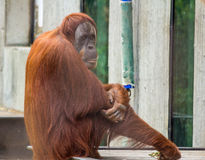 猩猩  免版税库存照片