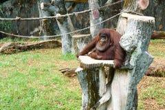 猩猩 库存照片