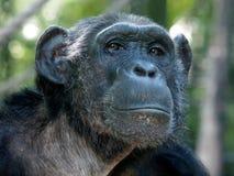 黑猩猩 免版税库存图片