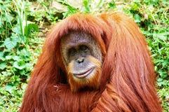 猩猩 免版税图库摄影