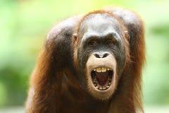 猩猩` S牙吼声 免版税库存图片
