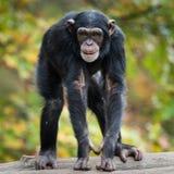 黑猩猩XII 库存照片
