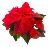 猩红色一品红花或圣诞节星 库存照片