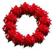 猩红色一品红花或圣诞节星 图库摄影
