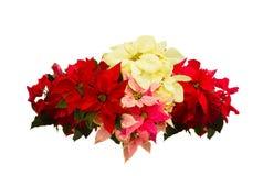 猩红色一品红花或圣诞节星 免版税库存照片