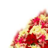 猩红色一品红花或圣诞节星 免版税库存图片