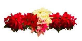 猩红色一品红花或圣诞节星 库存图片