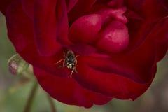 猩红色与黄蜂closup的红色玫瑰 库存照片