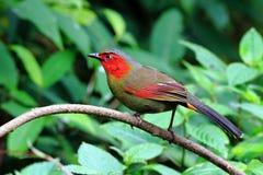 猩红色具有的Liocichla在绿色背景中 图库摄影