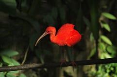 猩红色反对黑暗的密林背景的朱鹭Eudocimus ruber画象  免版税库存照片