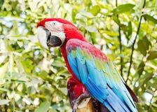 猩红色和蓝色金刚鹦鹉 库存图片