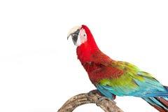 猩红色在树分支的金刚鹦鹉鸟的行动  库存图片