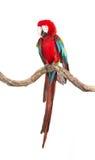 猩红色在树分支的金刚鹦鹉鸟的行动  免版税库存照片