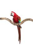 猩红色在树分支的金刚鹦鹉鸟的行动  图库摄影