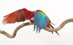 猩红色在树分支的金刚鹦鹉鸟的行动  库存照片