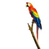 猩红色在白色背景隔绝的金刚鹦鹉鸟 免版税库存照片