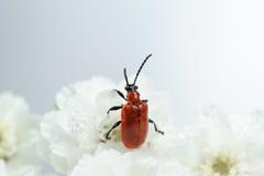 猩红色在白花特写镜头的百合甲虫 库存照片