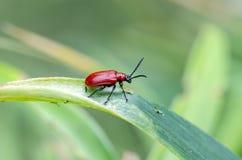 猩红色在百合的百合甲虫 免版税库存图片