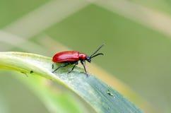 猩红色在百合的百合甲虫 免版税库存照片