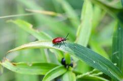 猩红色在百合的百合甲虫 库存照片