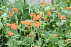猩红色开花在绿草背景的水杨梅  库存图片