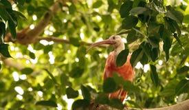 猩红色朱鹭叫Eudocimus ruber 图库摄影