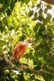 猩红色朱鹭叫Eudocimus ruber 库存照片