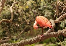 猩红色朱鹭叫Eudocimus ruber 库存图片