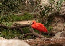 猩红色朱鹭叫Eudocimus ruber 免版税图库摄影