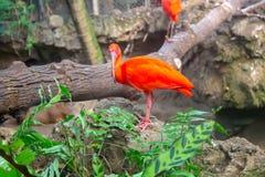 猩红色朱鹭在动物园里 库存图片
