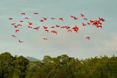 猩红色朱鹭, Eudocimus ruber,异乎寻常的红色鸟,自然栖所,鸟在森林, Caroni沼泽,特立尼达和多巴哥上的殖民地飞行 免版税库存图片