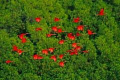 猩红色朱鹭, Eudocimus ruber,异乎寻常的红色鸟,自然栖所,鸟殖民地坐树, Caroni沼泽,特立尼达和多巴哥 免版税库存照片