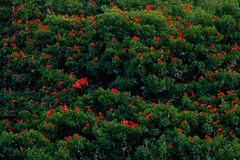猩红色朱鹭, Eudocimus ruber,异乎寻常的红色鸟,自然栖所,鸟殖民地坐树, Caroni沼泽,特立尼达和多巴哥 免版税库存图片
