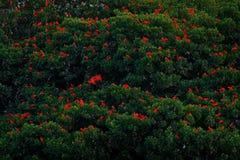 猩红色朱鹭, Eudocimus ruber,异乎寻常的红色鸟,自然栖所,鸟殖民地坐树, Caroni沼泽,特立尼达和多巴哥 库存照片