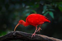 猩红色朱鹭, Eudocimus ruber,异乎寻常的鸟在自然栖所,鸟坐与晚上太阳光的树枝,在sunse期间 图库摄影