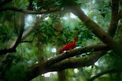 猩红色朱鹭, Eudocimus ruber,异乎寻常的鸟在自然森林栖所 红色鸟坐树枝,美丽的平衡的su 免版税库存照片