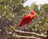 猩红色朱鹭, Eudocimus ruber 免版税库存照片