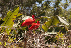 猩红色朱鹭, Eudocimus ruber 库存照片