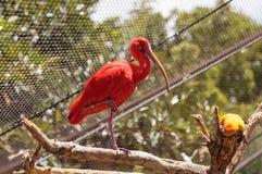 猩红色朱鹭, Eudocimus ruber 库存图片