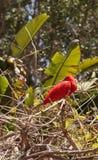 猩红色朱鹭, Eudocimus ruber 图库摄影