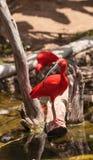 猩红色朱鹭, Eudocimus ruber 免版税库存图片