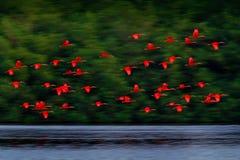 猩红色朱鹭,Eudocimus ruber、异乎寻常的红色鸟、自然栖所、鸟殖民地飞行上面河的,Caroni沼泽,特立尼达和 免版税库存图片