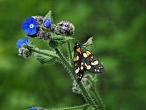 猩红色灯蛾- Callimorpha Dominula 免版税库存照片